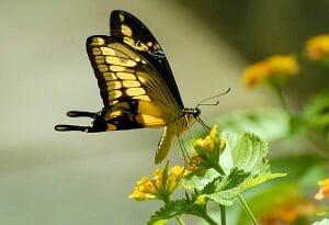 papillon-38
